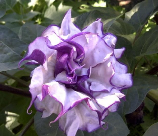 Datura Metel Black All Natural