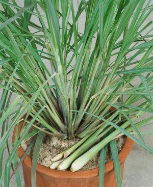 Lemongrass Cymbopogon citratus flexuosus - 50 Seeds