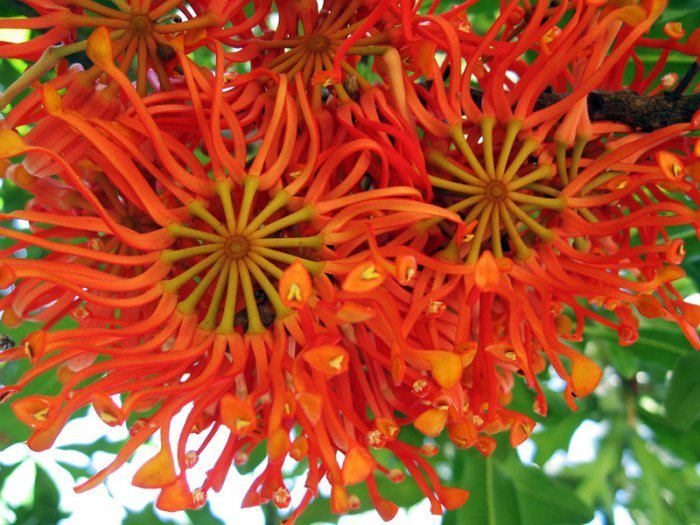 Stenocarpus Sinuatus Rare Firewheel  - 10 Seeds
