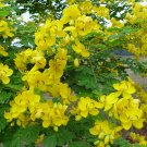 Rare Senna Bicapsularis Butterfly Cassia - 10 Seeds