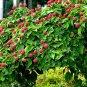 Chinese Dogwood Cornus Kousa chinensis  - 20 Seeds