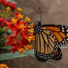 Scarlet Red Tropical Butterfly Milkweed Blood Flower Asclepias curassavica - 30 Seeds