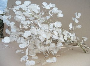 Money Plant Honesty Lunaria annua - 25 Seeds