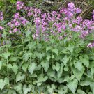 Money Plant Silver Dollar Honesty Lunaria biennis annua  - 50 Seeds