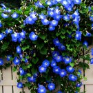 Deep Blue Morning Glory Ipomoea purpurea - 20 Seeds