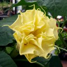 Datura Metel Double Triple Yellow Ballerina - 10 Seeds