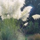 White Plume Pampas Grass Cortaderia selloana - 100 Seeds