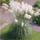 White Plume Pampas Grass Cortaderia selloana - 100 Seeds