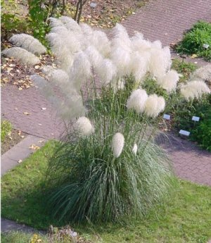 White plume pampas grass cortaderia selloana 100 seeds for Ornamental grass with purple plumes