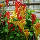 Rare Kangaroo Paw Anigozanthos flavidus - 12 Seeds