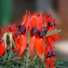 Rare Australian Sturts Desert Pea Swainsona Formosa - 10 Seeds