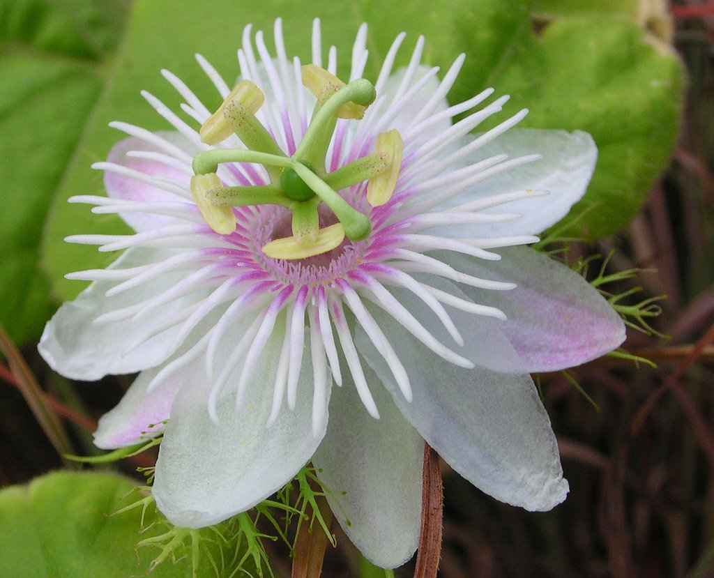 Wild water white passion flower passiflora foetida 8 seeds dhlflorist Images