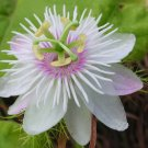 Wild Water White Passion Flower Passiflora foetida - 8 Seeds
