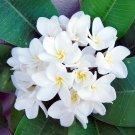 Plumeria White 'Samoan Fluff' Frangipani - 5 Seeds