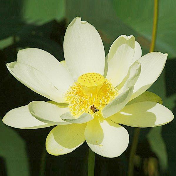 American Pond Water Lily Lotus Nelumbo lutea - 5 Seeds