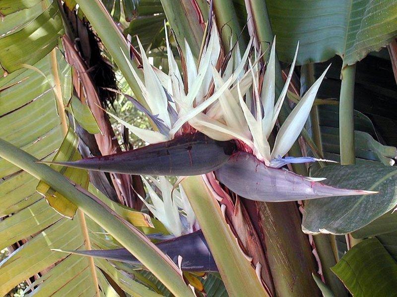 Giant White Bird of Paradise Strelitzia nicolai - 10 Seeds