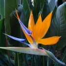 Orange Bird of Paradise Strelitzia reginae - 10 Seeds