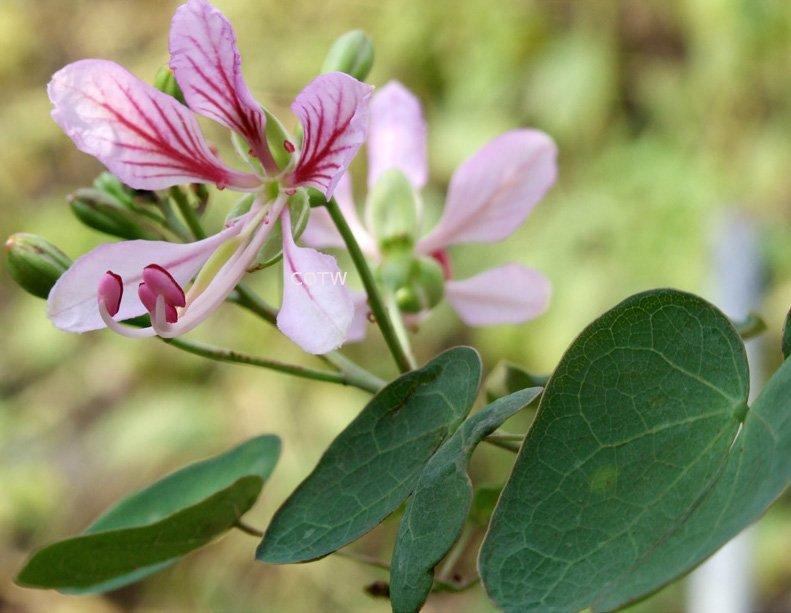 Exotic Phanera Fairy Vine Bauhinia corymbosa - 8 Seeds