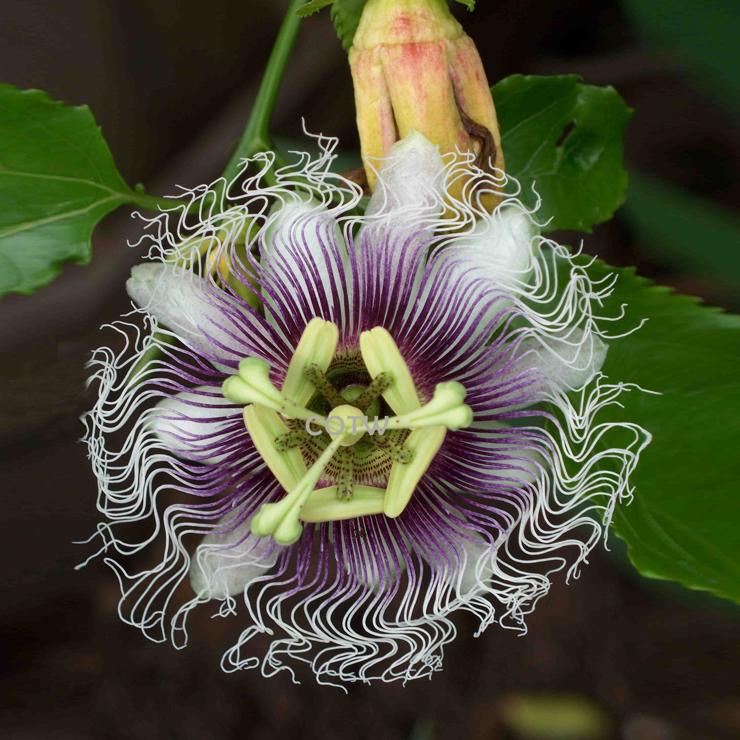 Passion Flower Purple Granadilla Passiflora Edulis - 10 Seeds