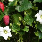 Ivy Gourd Tindora Dondakaya Coccinia indica - 10 Seeds