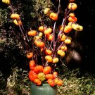 "NEW Fall Halloween Rare Hmong ""Pumpkin On A Stick"" Solanum integrifolium - 20 Seeds"