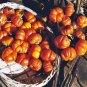 """NEW Fall Halloween Rare Hmong """"Pumpkin On A Stick"""" Solanum integrifolium - 20 Seeds"""