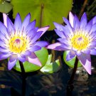 Sacred Blue Water Lily Nymphaea Caerulea - 20 Seeds