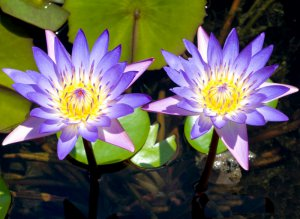 Sacred Blue Water Lily Nymphaea Caerulea - 50 Seeds