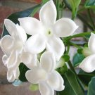 Hawaiian Wedding Flower Stephanotis Floribunda - 5 Seeds