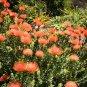 South African Red Protea Leucospermum cordifolium - 5 Seeds
