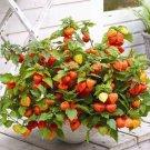 Chinese Lantern Physalis alkekengi Franchetii - 50 Seeds