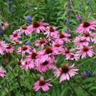Bee Magnet Organic Purple Coneflower Echinacea Purpurea - 150 Seeds