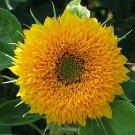 Tall Sunflower Goldy Honey Bear Helianthus annuus - 20 Seeds