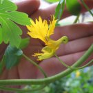 Rare Canary Bird Vine Tropaeolum peregrinum - 10 Seeds