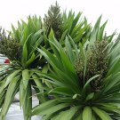 Rare Three Kings Island Cabbage Tree Cordyline Kaspar - 10 Seeds