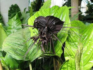Black Bat Flower Tacca chantrieri - 5 Seeds