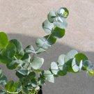 Silver Dollar Gum Eucalyptus cinerea - 25 Seeds