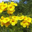 "Sale! Tecoma Stans Esperanza ""Yellow Bells"" 2 for 1 - 50 Seeds"