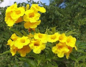 Sale! Tecoma Stans Esperanza &quot;Yellow Bells&quot; 2 for 1 - 50 Seeds