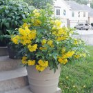 "Sale! Tecoma Stans Esperanza ""Yellow Bells"" 2 for 1 - 25 Seeds"