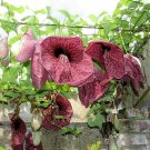 Giant Brazilian Dutchman's Pipe Aristolochia gigantea  - 6 Seeds