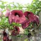 Giant Brazilian Dutchman's Pipe Aristolochia gigantea  - 6 Seeds