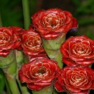 Rare Rose of Siam Torch Ginger Etlingera corneri - 10 Seeds