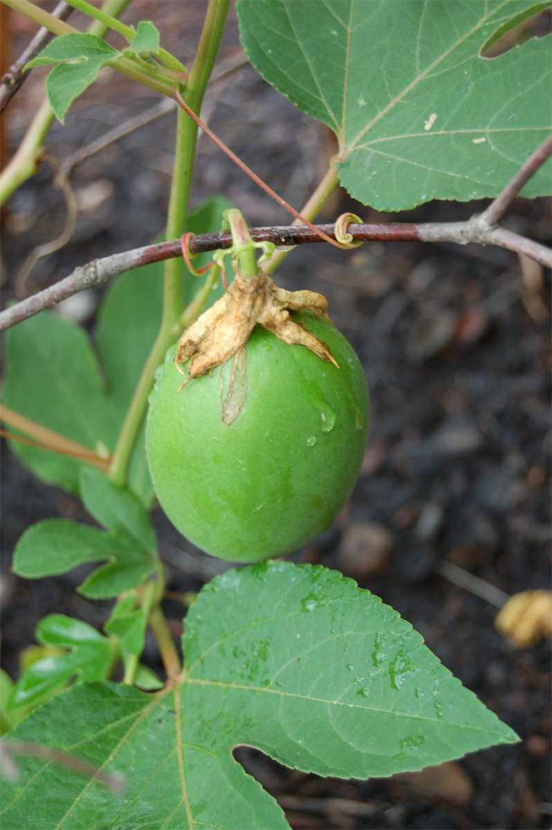 Passion Fruit Maypop Passiflora Incarnata 10 Seeds