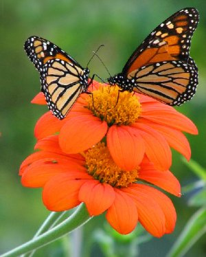 Mexican Sunflower Tithonia rotundifolia Torch - 50 seeds