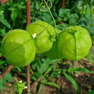 Love in a Puff Balloon Vine Cardiospermum halicacabum - 12 Seeds