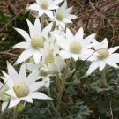 Flannel Flower Federation Star Actinotus helianthi - 10 Seeds