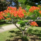 Flame Flamboyant Tree Delonix regia - 10 Seeds