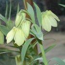 Pale Flowered Fritillary Fritillaria pallidiflora - 5 Seeds