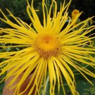 Magnificent Elecampane Sun Ray Inula magnifica - 100 Seeds
